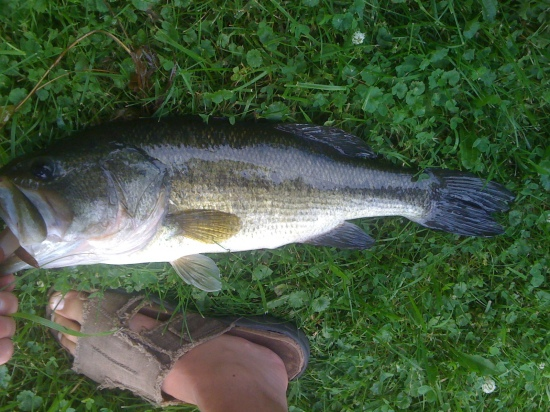Not the greatest picture but I was alone and all I had was a camera phone.  26 inch 6.5 lbs in Private Pond in Oxford Indiana.  Caught on Green rubber salamander. July 4  Caught 7 very nice bass in 35 minutes.  Awesome day.