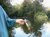 This 1lbs.8 oz. LargeMouth was caught in an unusual way, lure went over a tree branch slowly went down to water, when the first hook touched the water the bass hit it. Saved lure fish and branch without damage.... funny to see,even better to hear about. This was witnessed by 4 people. Has this ever happened to Bill???