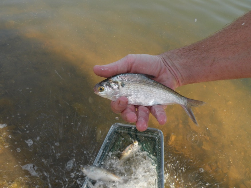 Bass Fingerling Facts Pond Stocking Info